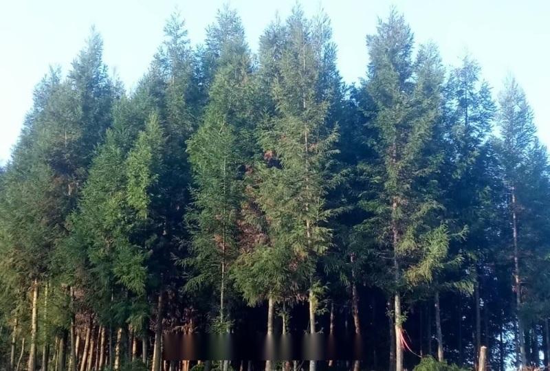 柳杉/胸径15公分柳杉/柳杉绿化苗