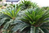 铁树 另称避火蕉 观赏植物 株高带叶子150(m) 常绿棕榈状木本植物 现代观光园