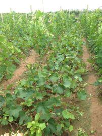 两年阳光玫瑰葡萄苗价格