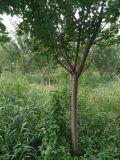 高杆樱花基地温江樱花直销2-13公分出售优质黑土5公分樱花