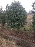浙江风景树系列桂花树 200cm冠幅修剪精品金桂