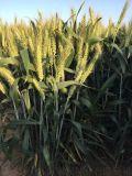 高產小麥新品種矮優王熱賣產品