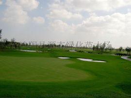 台湾草 老鹰草 高尔夫球场草 美国一号草 草坪种子 草皮