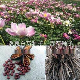 赤芍苗价格|改良赤芍苗批发|芍药苗基地