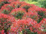 红叶石楠 红叶石楠苗 红叶石楠球 高杆红叶石楠