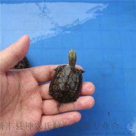 北种石金钱龟 大青苗 纯北种石龟苗 广东龟场出货【背甲4~6厘】