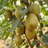 嫁接梨树苗早酥红梨红啤梨苗脆甜盆地栽果树苗南北方种植当年结果
