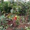 云南哪里有阳丰甜柿子苗出售?