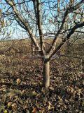 10公分杏树产地====12公分杏树哪里有卖?
