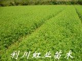柳杉樹苗/一年生柳杉苗高30公分