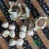 雲南滿澤辣木籽種植基地/辣木籽產地