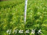 杉木樹苗/杉樹苗/20-30公分杉木樹苗