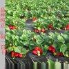 紅顏草莓苗 山東草莓苗基地 四葉一心  保證品種