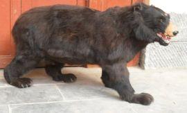 专业科技馆展馆黑熊标本价格稀有动物模型制作厂家