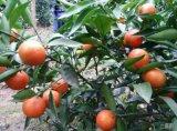 大量出售金桔蜜柚苗