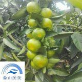 柑桔树苗日南1号,树势强,果实采收和出售时间长