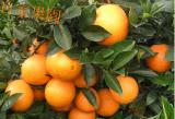 批發贛南臍橙贛南安遠臍橙紅肉臍橙紐荷爾臍橙支持一件代發