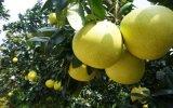 大量**琯溪柚子苗