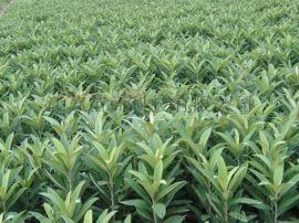 鹽城4公分枇杷樹苗木基地   枇杷樹3公分價格