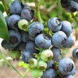 蓝莓树苗南方北方种植果树苗盆栽地栽蓝梅苗室内外