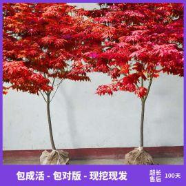 红枫树苗日本美国红枫苗造型别墅庭院园林绿化盆栽四季红枫红舞姬