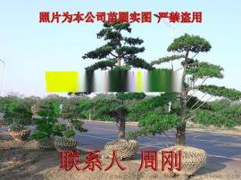 苏州造型五针松 五针松苗圃种植基地 造型景观树基地