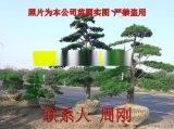 蘇州造型五針鬆 五針鬆苗圃種植基地 造型景觀樹基地