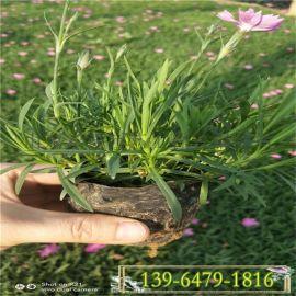 大量批发白花欧石竹盆苗 楼盘绿化 公园小区花海用花