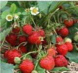 大葉紅顏草莓苗生產商-供應精品草莓苗