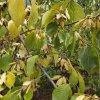 河南杜仲種子多少錢一斤?杜仲樹苗產地銷售