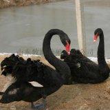 黑天鵝 黑天鵝價格