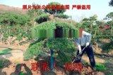 蘇州造型羅漢松 造型雪松 造型五針鬆 造型景觀樹