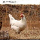 晋城农大3号青年鸡饲料 农大3号青年鸡管理三要素