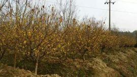 安徽肥西  腊梅,素心腊梅,腊梅盆景,腊梅小苗价格