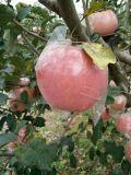 陝西膜袋紅富士蘋果今年價格走勢