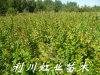 紫薇樹苗/1米以上紫薇樹苗價格