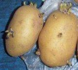 北京土豆种子信息
