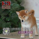 深圳哪里有卖柴犬,深圳柴犬多少一只