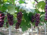 葡萄溫室大棚/櫻桃溫室大棚增加種植戶的實際收益