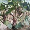 哪裏有葡萄苗 葡萄苗有什麼品種 葡萄苗種植