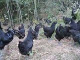 湖南优质绿壳蛋鸡商品及种苗供应