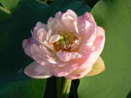 江苏水生植物种植基地、水生植物种苗销售供应厂家