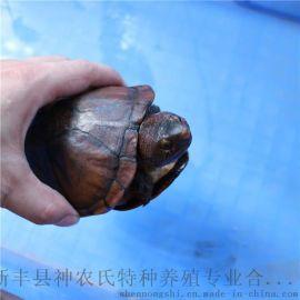 红面蛋龟 观赏乌龟活体 红面泥龟活体种龟8两至1.2斤
