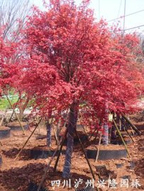 红枫;日本红枫;美国红枫