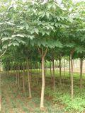 七叶树种子