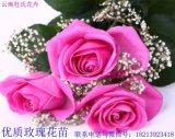杜氏花卉扦插月季小苗红色系卡罗拉