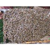 湖南哪里有蜜蜂哥哥种蜂买卖