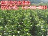 玉露香梨树苗=红香酥梨树苗=成品梨树苗=玉露香梨树苗价格