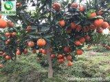 湖南柑橘苗世紀紅柑橘苗