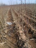 杜梨苗種植 杜梨苗產地直銷